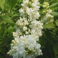 syringa vulgaris mme lemoine white french lilac 190x190 - Syringa vulgaris 'Mme Lemoine'