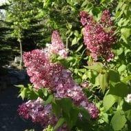syringa x hyacinthiflora maiden s blush 190x190 - Syringa x hyacinthiflora 'Maiden's Blush'