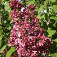 syringa x maiden blush huge lilac flower 190x190 - Syringa x hyacinthiflora 'Maiden's Blush'