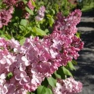 This early flowering lilac has one of the largest clusters of flowers. With its abundant pink red flowers and it's exceptional hardiness