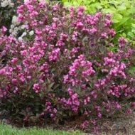 Java Red purple-leaved Weigela has beautiful clusters of red-pink trumpet flowers