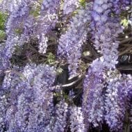 Reblooming Wisteria Blue Moon has a gorgeous sky blue grape of flowers that looks amazing hanging down from any wall or arch. Incredibly hardy and fast growing
