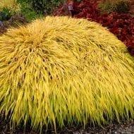 Hakonochloa-Japanese-Forest-Grass-All-Gold