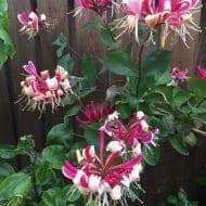 Beligica Select Honeysuckle flowers 190x190 - Lonicera periclymenum 'Belgica Select'