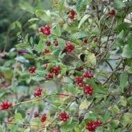 Early Dutch Honeysuckle berries