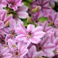 Clematis Nelly Moser in bloom
