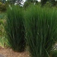 Northwind switch grass habit