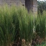 Northwind switch grass