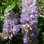 Aunt Dee Wisteria blooms