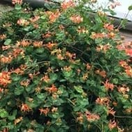 Coral Star Honeysuckle plant