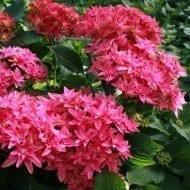 8053c hortensia macrophylla you me princess diana boos t1000 190x190 - Hydrangea macrophylla x paniculata 'Princess Diana' WOWTime® ('H21-3')