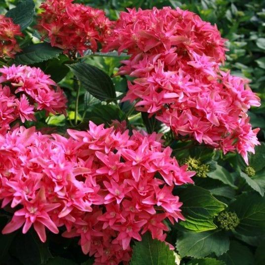 8053c hortensia macrophylla you me princess diana boos t1000 537x537 - Hydrangea macrophylla x paniculata 'Princess Diana' WOWTime® ('H21-3')