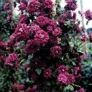 Clematis viticella 'Purpurea Plena Elegans' climbing vine