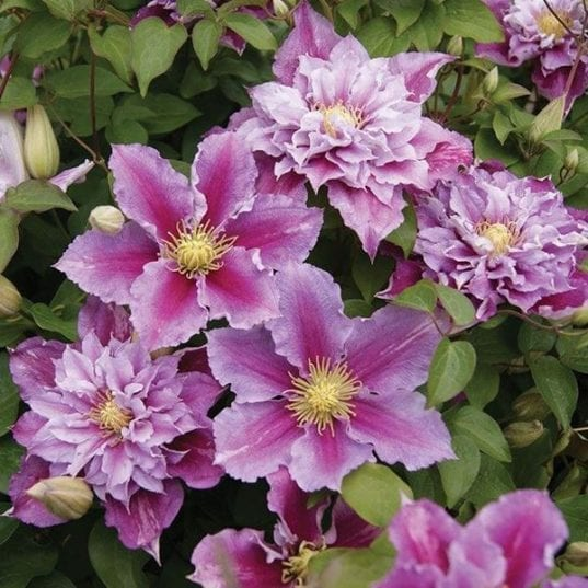 Clematis Piilu double and single flowers