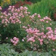 The Fairy Rose hedge