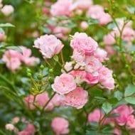 Fairy Rose flowers 190x190 - Rosa 'The Fairy'