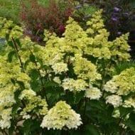 Friase Melba Hydrangea in the spring 190x190 - Hydrangea paniculata 'Renba' FRAISE MELBA