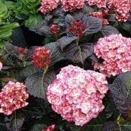 Hydrangea Miss Saori plant 190x190 - Hydrangea macrophylla 'H20-02' Miss Saori™
