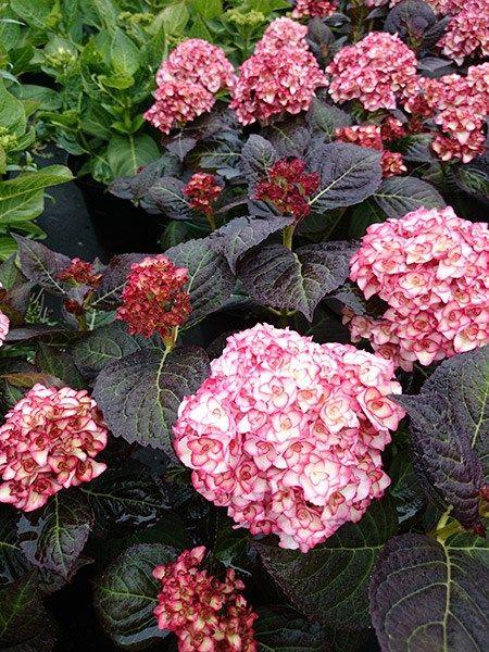 Hydrangea Miss Saori plant - Hydrangea macrophylla 'H20-02' Miss Saori™