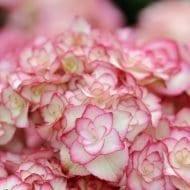 Miss Saori Hydrangea gets her closeup 190x190 - Hydrangea macrophylla 'H20-02' Miss Saori™