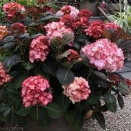Miss Saori Hydrangea in a container 190x190 - Hydrangea macrophylla 'H20-02' Miss Saori™