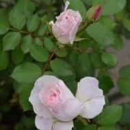 Morden Blush Rose buds 1 190x190 - Rosa 'Morden Blush'