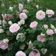 Morden Blush Rose bush 1 190x190 - Rosa 'Morden Blush'
