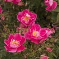 Rosa William Baffin blooms 1 190x190 - Rosa 'William Baffin'