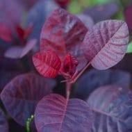 Royal Purple Smoke Bush leaf 190x190 - Cotinus coggygria 'Royal Purple'
