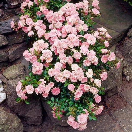 Rosa The Fairy in the rock garden