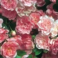 Clusters of The Fairy Rose flowers