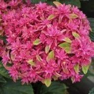 hortensia princess diana  190x190 - Hydrangea macrophylla x paniculata 'Princess Diana' WOWTime® ('H21-3')