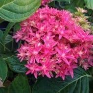 hydrangea macrophylla princess diana bloom 190x190 - Hydrangea macrophylla x paniculata 'Princess Diana' WOWTime® ('H21-3')