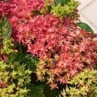 hymh213 2011 4 190x190 - Hydrangea macrophylla x paniculata 'Princess Diana' WOWTime® ('H21-3')
