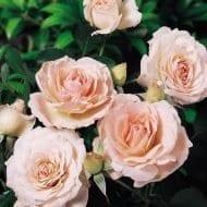 Morden Blush Rose blooms