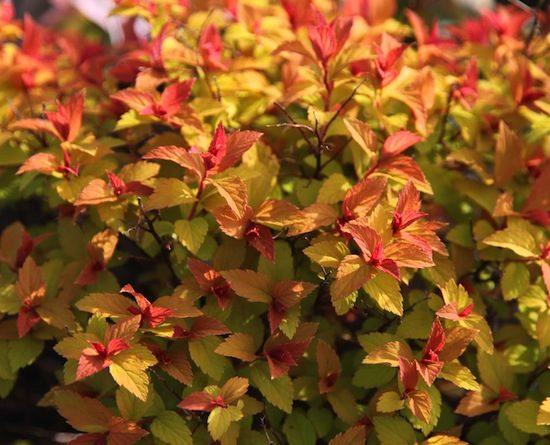 Spiraea Goldflame Foliage o84e5fvqdby4idqkteg7fw6uok1qjtxv0vd46i9gpu - 11 Must Have Spirea Shrubs – Bring Dramatic Impact to the Garden