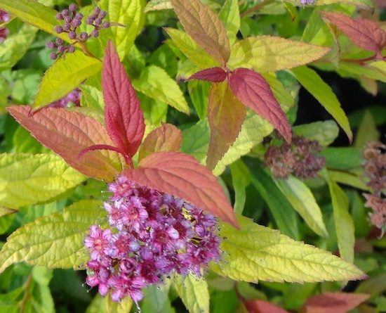 Spiraea-bumalda-Flaming-mound