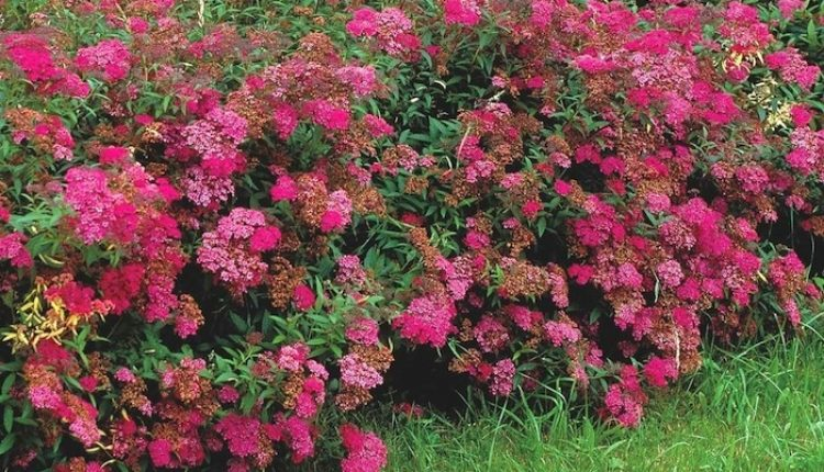 Spiraea-japonica-Anthony-Waterer-Hedge