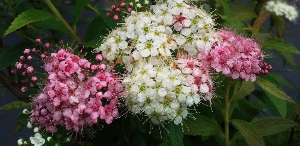 Spiraea japonica shirobana o7vff6hjektlb8ix5qmiy9d26kfqgfwfj7rpyk3dl4 - 11 Must Have Spirea Shrubs – Bring Dramatic Impact to the Garden