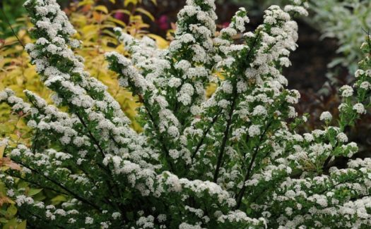 Spiraea nipponica Snowmound mt3tyczo6s19qey51o5ppj6l4jwqunx1antkgtmdbm - 11 Must Have Spirea Shrubs – Bring Dramatic Impact to the Garden